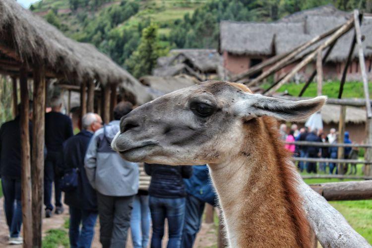 Alpaca Partener Selection Peru Traveling Alpaca Portrait Peru Agriculture Llama Close-up Livestock