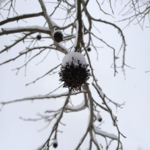 EyeEm Selects Tree Flower Branch Snow Winter Bare Tree Cold Temperature Flower Head Rural Scene Pinaceae