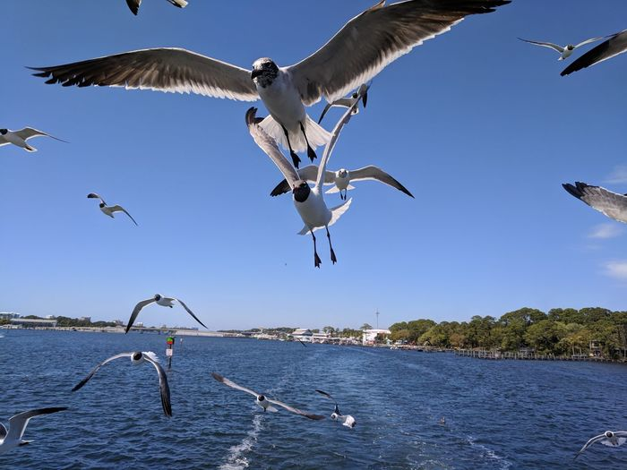 Seagulls in Panama City Beach EyeEm Selects Bird Spread Wings Water Flying Blue Mid-air Clear Sky Flock Of Birds
