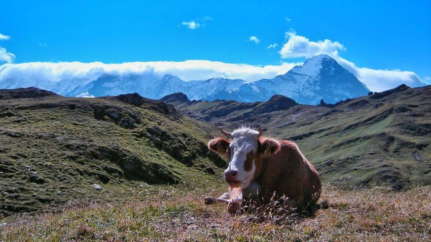 Cows Switzerland Grass Everyday Lives Eating Healthy Mountain View Looking For Trouble From Where I Stand Blue Sky Colourful