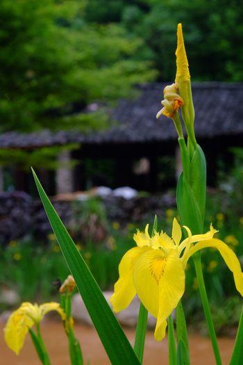 Flower Flowering Plant Yellow Plant Fragility Vulnerability  Freshness