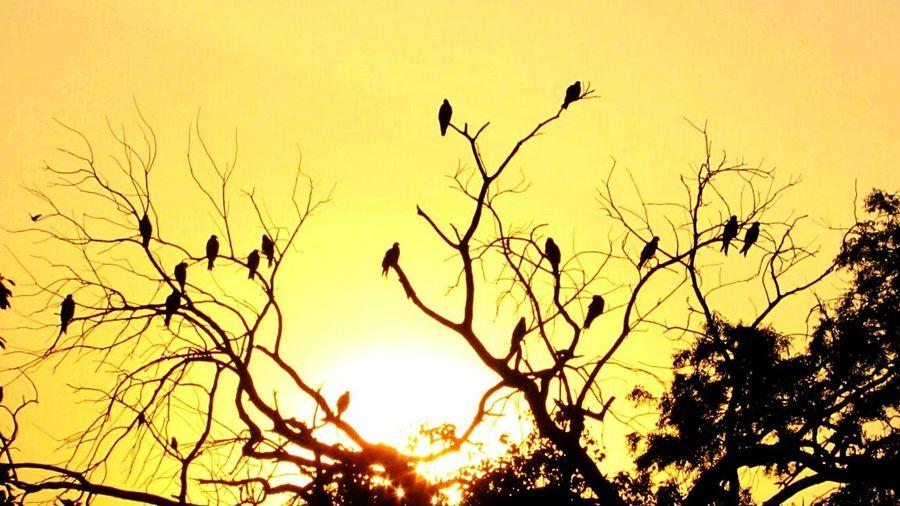 Trees Birds Sunset Yellow Black Dicotomy Branches Leafless Tree Delhi