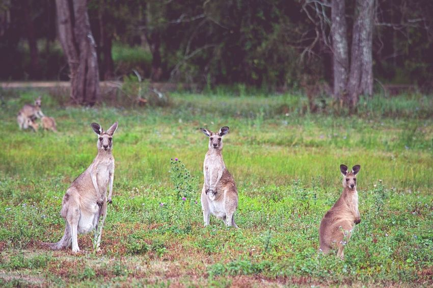 We are so lucky to have kangaroos roaming wild so close to the CBD on the Gold Coast. Every time I have been overseas someone has asked me if I have seen a kangaroo. Gold Coast Australia Wildlife Photography Australian Outback Australian Landscape Kangaroos Nikonphotography Aussiephotos