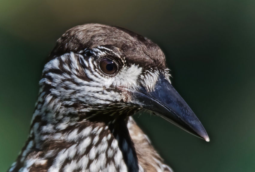 Nutcracker Nucifraga Caryocatactes Spotted Nutcracker Animal Head  Animal Themes Animal Wildlife Animals In The Wild Beak Bird Close-up Day Focus On Foreground Nature No People One Animal Outdoors Portrait