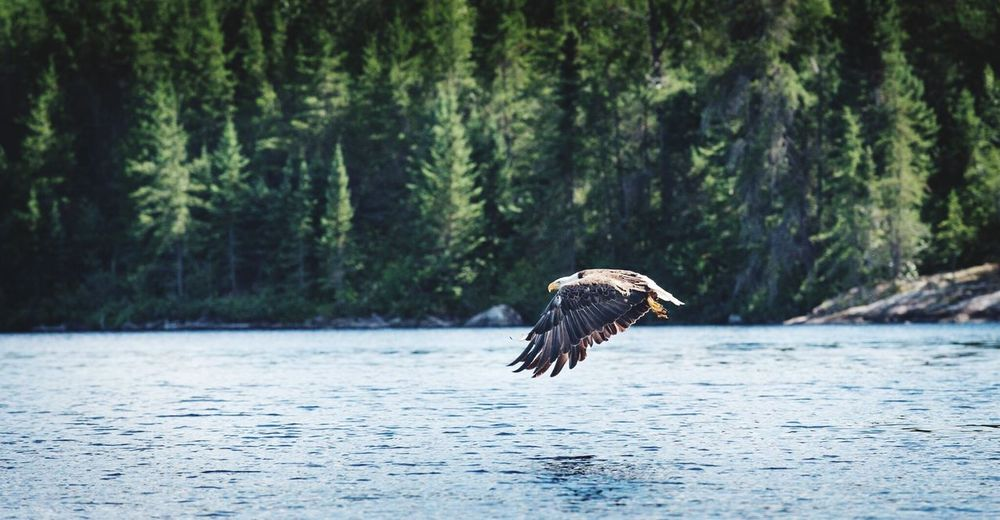 Bald eagle animal wildlife Aenimals in the Wild animal themes one animal Nature Tree spread wings outdoors no people beauty in Nature water