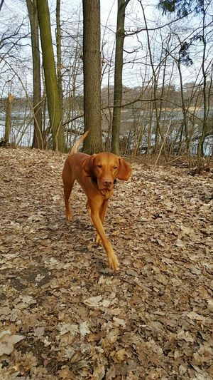 One Animal Animal Themes Domestic Animals Outdoors Dog Ijuma Von Terra Lebusana EyeEm Best Shots Vizslaoftheday Hungarian Vizsla Dog Of The Day