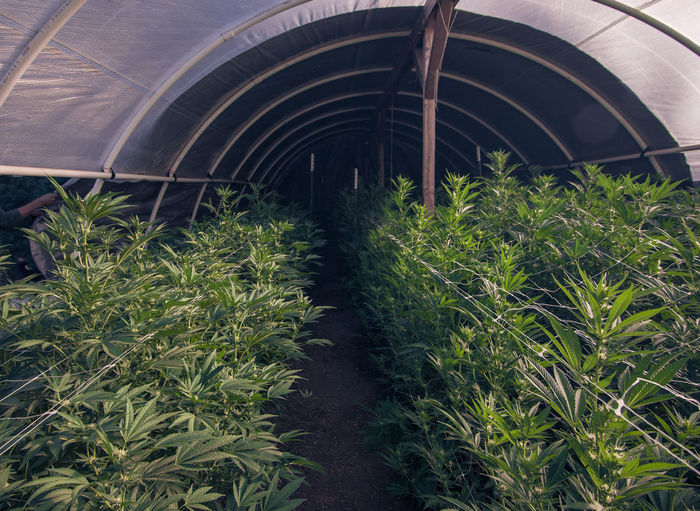 Harvest Season on a Cannabis Farm in California 420 420life Agriculture Agriculture Photography Cannabis Cannabis Plant Greenhouse Harvest Time Humboldt Marijuana Plant MaryJane No People Outdoor