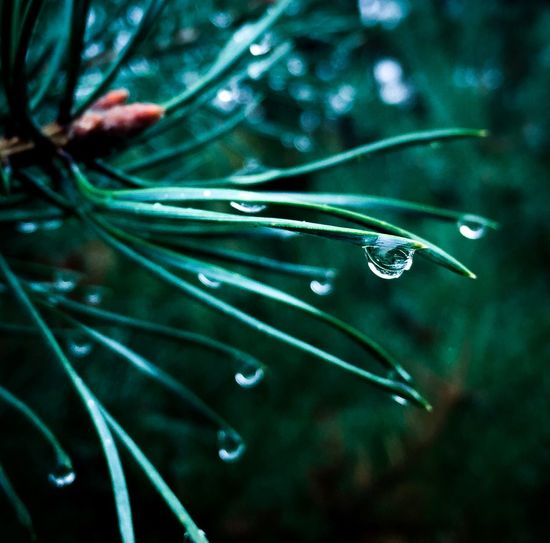 Water Drop Close-up Nature No People Green Color Green Sapin Beauty In Nature Day Fragility Plant Pinheiro Pinhole Pinho Caruma Pine Tree Pine IPhoneography Iphoneonly