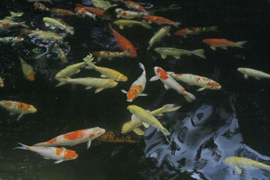 Animal Themes Animals In The Wild Close-up Day Fish High Angle View Indoors  Koi Carp Koi Carps Large Group Of Animals Lots Of Fishes Nature No People Sea Life Swimming Togetherness Water