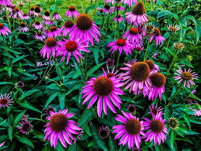 Spring purple tulips Summer Thessaloniki Flowering Plant Flower Fragility Vulnerability  Plant Freshness Beauty In Nature Growth Coneflower Flower Head Petal Inflorescence Pink Color Nature Day Close-up High Angle View No People Park - Man Made Space Park