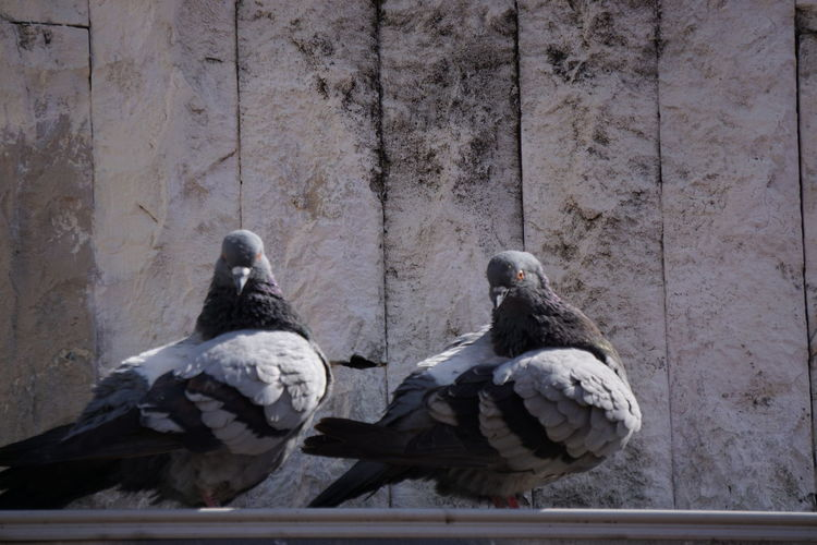 Doves Animal Themes Animal Wildlife Animals In The Wild Architecture Bird Close-up Day Gray Doves Nature No People Outdoors Perching Togetherness Two Doves Urban