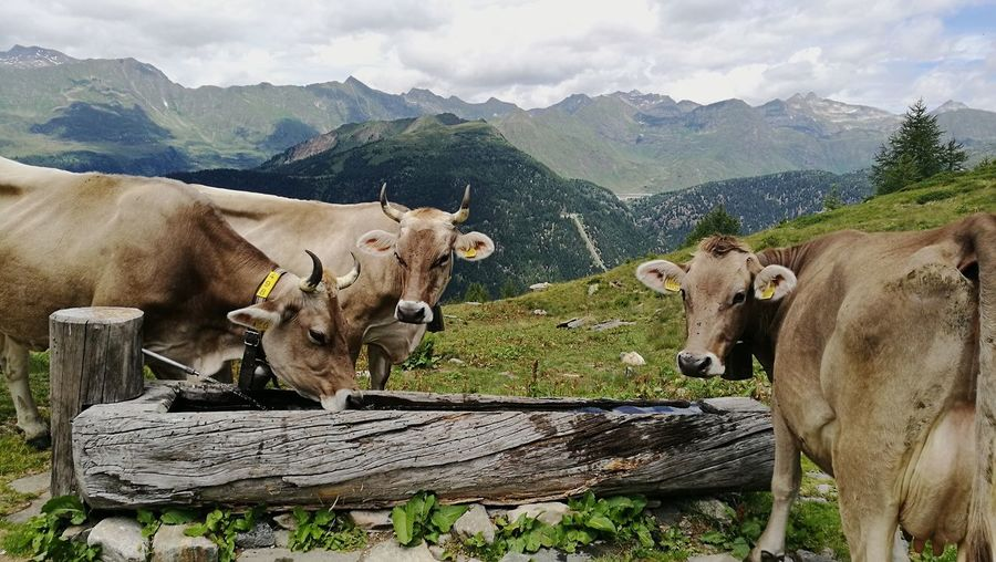 Mountain Animal Themes Agriculture Nature Beauty In Nature Outdoors Switzerland Cows Fountain Swiss Mountains Swisslife Lovemycountry Walking Switzerland Alps Leventina