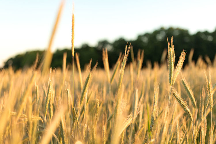 Agriculture Beauty In Nature Close-up Cornfield Day Farm Field Focus On Foreground Freshness Growing Growth Nature Non-urban Scene Outdoors Remote Scenics Selective Focus Sky Summer Surface Level Tranquil Scene Tranquility