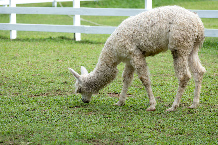 one llama grazing on grass field Mammal Animal Animal Themes Domestic Animals Domestic Livestock Pets One Animal Vertebrate Grass Sheep Land Field Agriculture Plant Grazing Nature Young Animal Lamb No People Herbivorous Outdoors Llama Petting Zoo