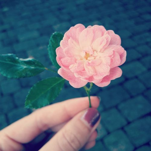 Pink Rose Gift From Dady <3