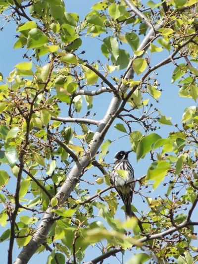 Australia Australian Birds Austria Birds In Trees Birds Of EyeEm  Birds_collection Birdwatching Blossom Nature Photography Nature_collection New Holland New Holland Honeyeater Pear Tree In Blossom Wildlife Photography