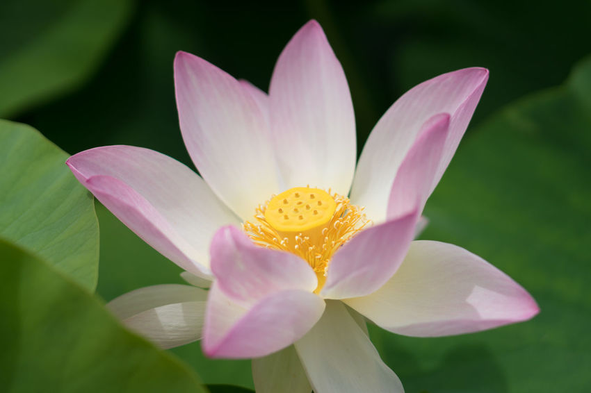 Lotusblüte Beauty In Nature Close-up Flower Flower Head Flowering Plant Fragility Freshness Growth Inflorescence Leaf Lily Lotus Water Lily Nature No People Petal Pink Color Plant Pollen Pond Purple Vulnerability  Water Lily