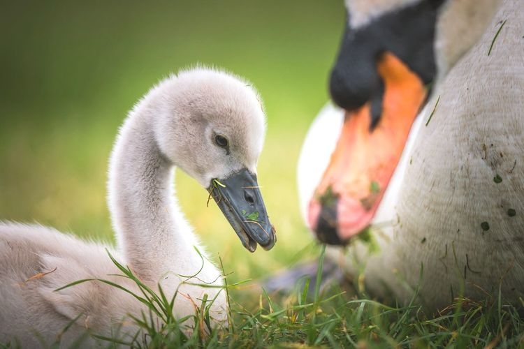 Hungry Beauty In Nature Richmond Park, London Cygnets Swan Cygnet Animal Themes Animal Animal Wildlife Animals In The Wild Vertebrate Grass One Animal Nature Bird Eating Sunlight Close-up Young Animal
