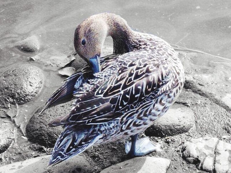 鳥 Birds オナガガモ ♀ EyeEm Nature Lover Naturelovers EyeEm Gallery