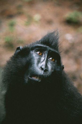 Close-Up Of Black Celebes Macaque