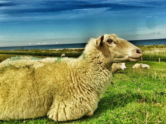 Animal Themes One Animal Mammal Domestic Animals No People Nature Outdoors Grass Day Sky Sea Water Horizon Over Water Close-up Beauty In Nature Sheep Sheep🐑