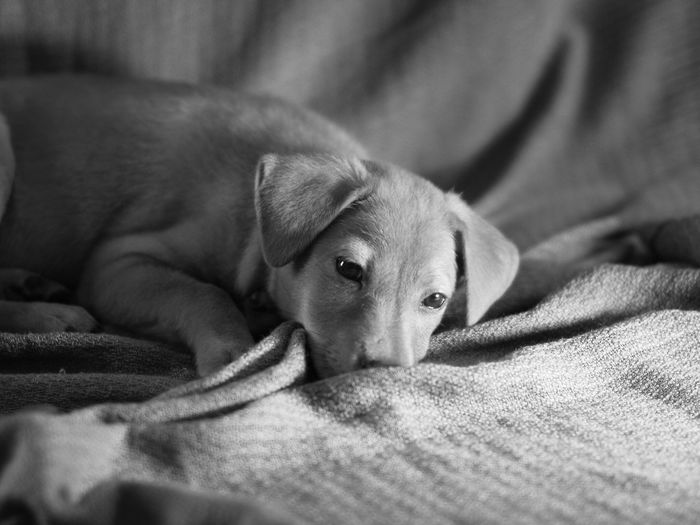 EyeEm Selects Pets Dog One Animal Domestic Animals Indoors  Animal Themes Mammal Bed Lying Down Relaxation Selective Focus Home Interior Sheet No People Comfortable Young Animal Puppy Looking At Camera Portrait Close-up