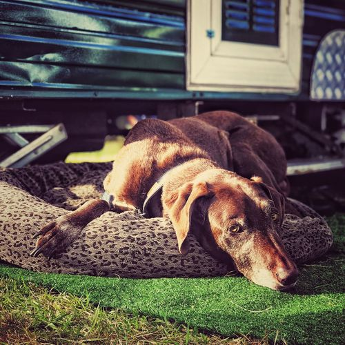 Close-up of dog relaxing on grass