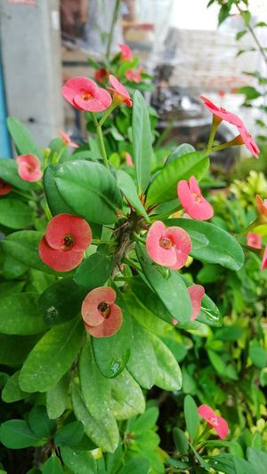 Christ Thorn Tree Plant Nature Flowers Red Crown Of Thorns Christ Thorn Belive Beautiful Thorn Green Thorny Plant Thorn Tree Flower Collection Flower Photography Garden Plants And Flowers Plant A Tree Water Drops On Leaves Waterdrops Refresh