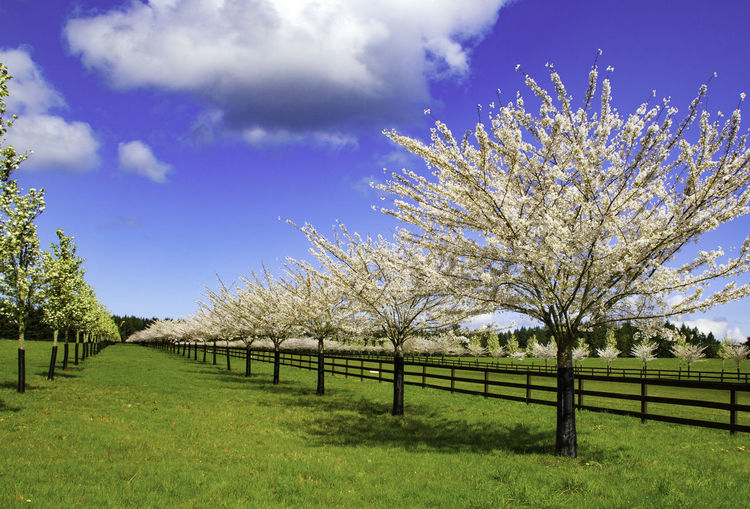 Scenic view of flowering trees in orchard against sky