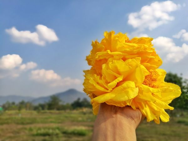Flower Nature Cloud - Sky Yellow Close-up Fragility Sky Outdoors Focus On Foreground Freshness Beauty In Nature Day Blossom Plant Growth Flower Head Agriculture Adult Adults Only Human Hand Yellow Flowers