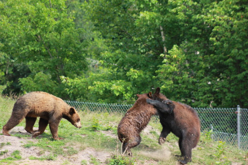 Animal Themes Bears Day Nature No People Oswald's Bear Ranch Outdoors Standing Togetherness Two Animals Wrestling Young Animal