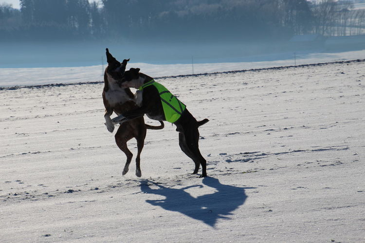 Apollo Und Baxter Boxer Dogs Dog EyeEm Best Shots I Love My Dog❤ Outdoors Pets Physical Activity Wintertime