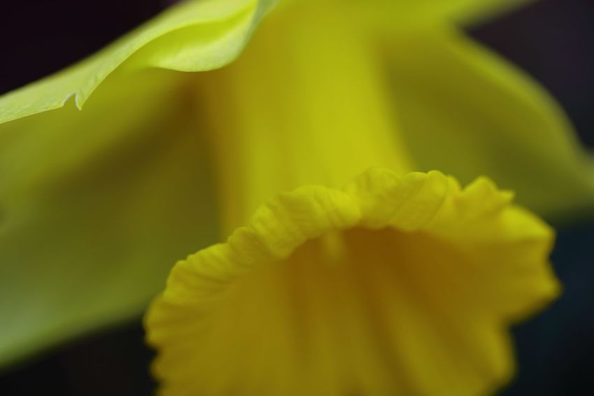 A macro capture, highlighting the frilled edge petal of a Spring Daffodil flower. Daffodil Flower Macro Beauty Macro Photography Nature Nature Photography Spring Has Arrived Tadaa Community Yellow Colour Blossom Daffodil Flower Collection Flower Head Flower Petal Flowers, Nature And Beauty Light And Shadow Macro Macro Nature Macro_flower Malephotographerofthemonth Naturelovers Selective Focus Spring Spring Flowers Springtime Streamzoofamily