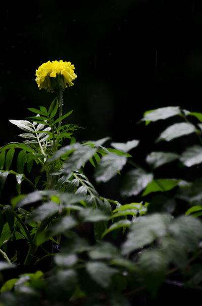 EyeEm Flower Rain Bankground Beauty In Nature Blooming Calendula Flower Close-up Darkness And Light Day Flower Flower Head Fragility Freshness Green Color Growth Leaf Marigold Marigold Flower Nature No People Outdoors Petal Plant Yellow