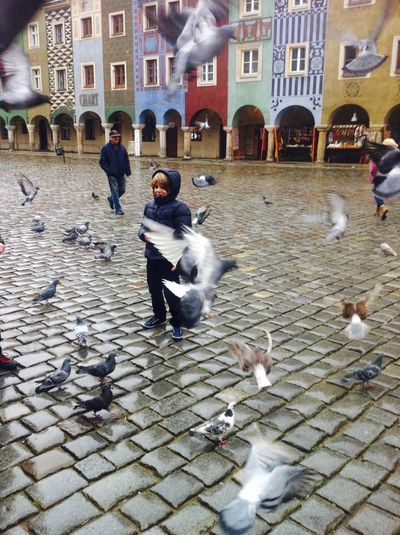 Pigeons Poznań Poland Oldmarket
