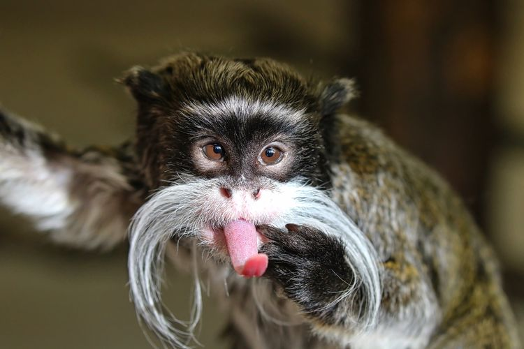 Cheeky Emperor Tamarin Monkey Animal Themes Close-up Day Indoors  Looking At Camera Mammal Monkey No People One Animal Portrait