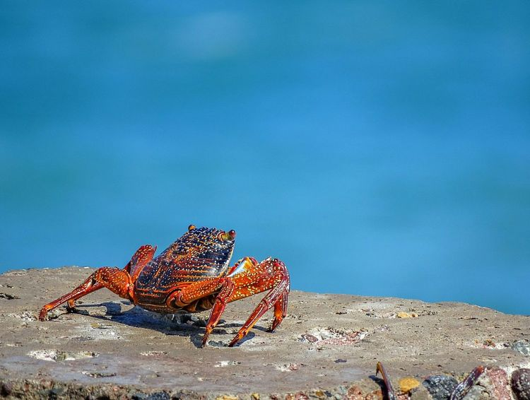 Crab. Beach Sea Sand Outdoors Nature Blue Day Water Sea Life Crab Rock Pacific Ocean Arica-chile Arica Wather Red Crab Oceanlife Ocean Animal Sea Animal Colors Colorful Nature Colorful Colorful Animal No People