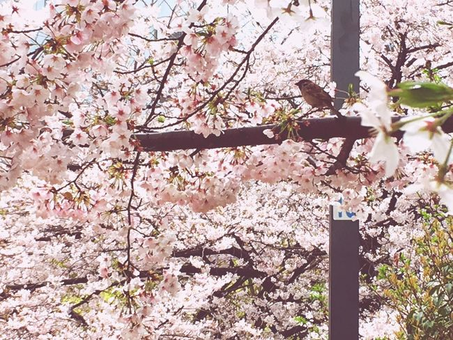 Haru Suzume A Bird Sakura Flower Tree Growth Pink Color Springtime Blossom Branch Nature Beauty In Nature Fragility m In Bloom Freshness Cherry Blossom No People Petal Twig Outdoors Low Angle View Day
