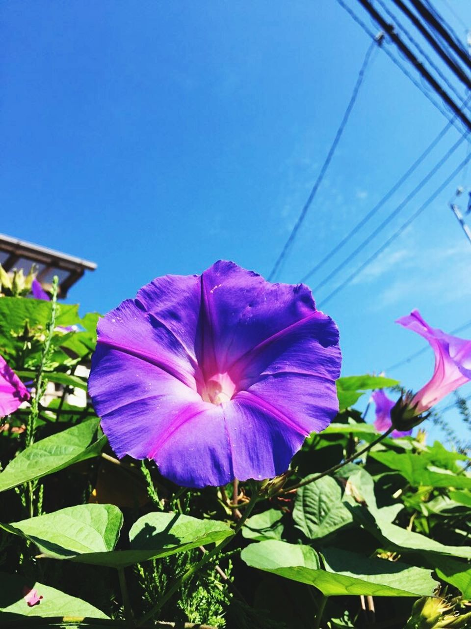 flower, fragility, petal, growth, beauty in nature, plant, nature, freshness, no people, day, flower head, leaf, outdoors, blooming, sunlight, close-up, low angle view, blue, sky, petunia