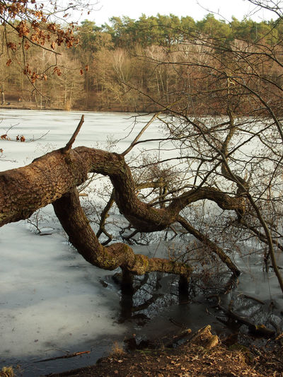 Bare tree by river in forest