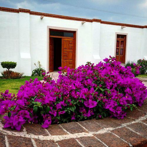 Flower Flower Head Purple Pink Color Window Door Architecture Plant Built Structure Entryway Blooming Villa