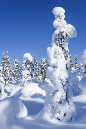 Close-up of snow covered trees against blue sky