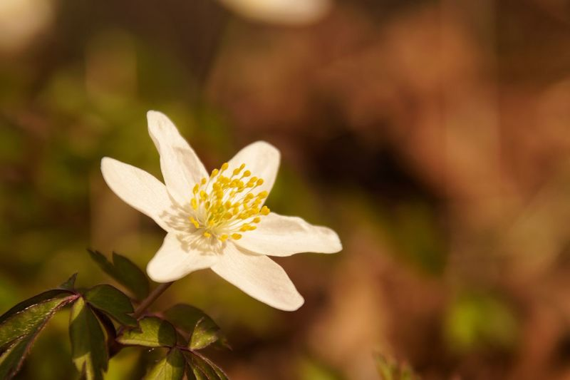 Shallow Depth Of Field Wood Anemone Beauty In Nature Close-up Day Flower Flowering Plant Focus On Foreground Freshness Nature No People Outdoors Petal Plant Pollen Selective Focus Vitsippa Vulnerability  White Color