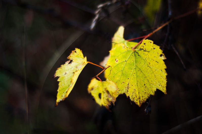 Leaf Plant Part Close-up Focus On Foreground Plant Nature Autumn Yellow Change No People Day Beauty In Nature Leaves Green Color Growth Outdoors Leaf Vein Sunlight Vulnerability  Selective Focus Maple Leaf Natural Condition