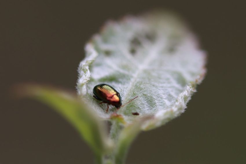 EyeEm Selects Insect Animal Themes One Animal Animals In The Wild Animal Wildlife Beetle No People Close-up Leaf Beauty In Nature Day Nature Focus On Foreground