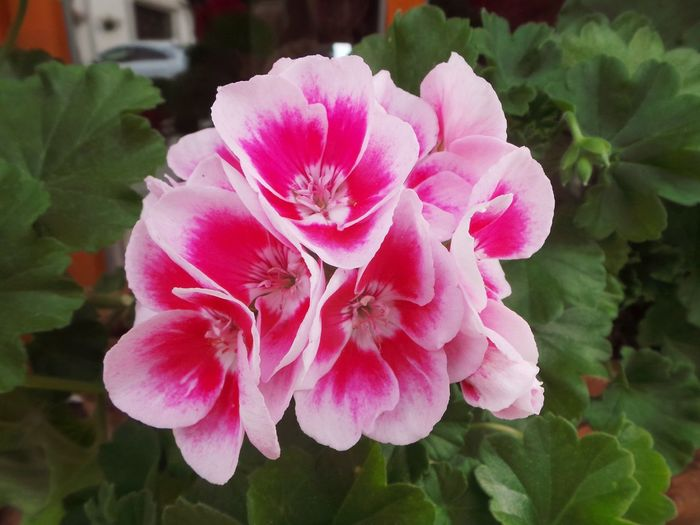 Pink Beauty In Nature Blooming Close-up Day Flower Flower Collection Flower Head Flower Photography Flowers Fragility Freshness Growth Leaf Nature No People Outdoors Pelargonium Flowers Petal Pink Color Pink Flower Plant