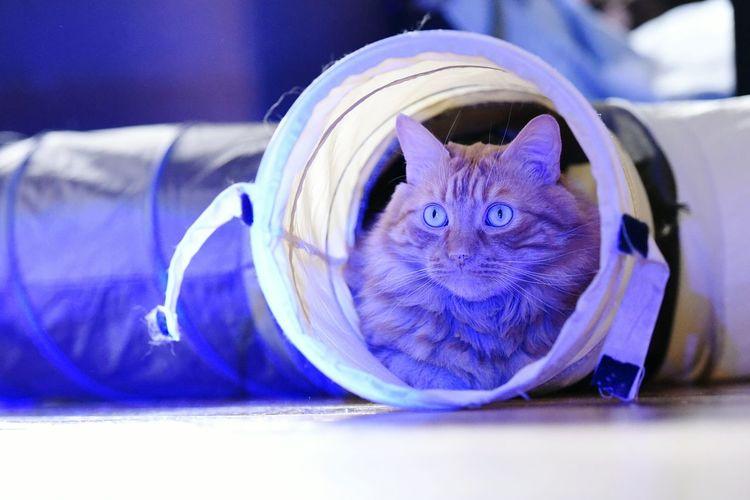 Cat in blue.