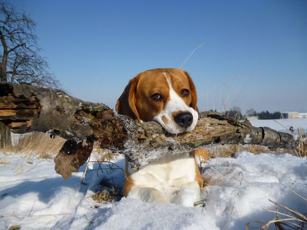 EyeEm Nature Lover EyeEmNewHere Moritz Trees Animal Themes Beagle Cold Temperature Day Dog Domestic Animals Eye4photography  Face Looking At Camera Mammal Nature No People One Animal Outdoors Pets Portrait Sky Snow Standing Winter