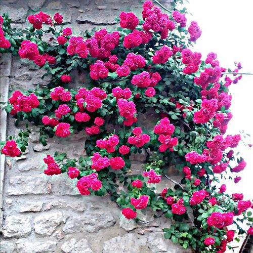Roses Climbingplant Viterbo Lazio Hystorical Citytrip Citycenter Mustvisit