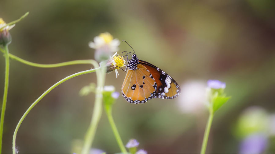 Animal Animal Themes Animal Wildlife Animal Wing Animals In The Wild Beauty In Nature Butterfly Butterfly - Insect Close-up Day Flower Flowering Plant Focus On Foreground Fragility Insect Invertebrate Nature No People One Animal Plant Pollination Selective Focus